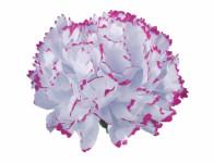 Květ voskový KARAFIÁT bílo lila 9cm
