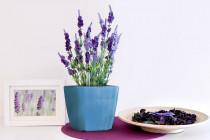 Vypěstuj si levanduli, samozavlažovací květináč modrý 13x13 cm, Domestico