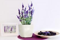 Vypěstuj si levanduli, samozavlažovací květináč bílý 13x13 cm, Domestico