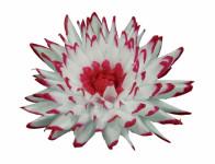 Květ voskový JIŘINA KAKTUS bílo červený 15cm