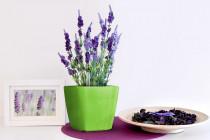 Vypěstuj si levanduli, samozavlažovací květináč zelený 13x13 cm, Domestico